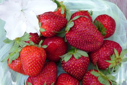 strawberries 416x277 - Strawberries