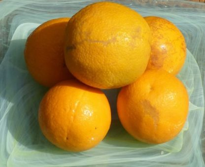 Oranges Juicing 416x339 - Oranges - Juicing