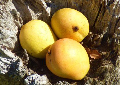 P10607922 416x297 - Mangoes - Kengsington Pride *New Season
