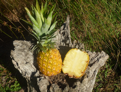P1070412 416x316 - Pineapples - Smooth Leaf  VERY LARGE