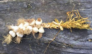 DEOSAS garlic for web 324x192 - Garlic Platt - Purple/White