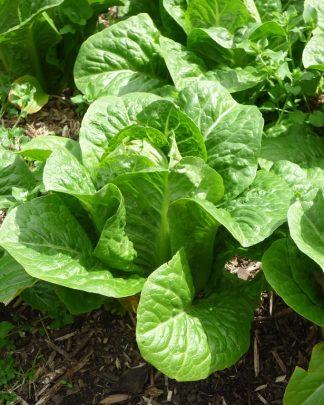 lettuce Baby Cos 324x405 - Garlic - Purple/White