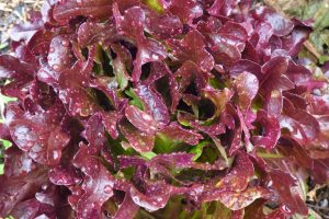 Red Fancy Lettuce 300x200 - The Beauty of Life...
