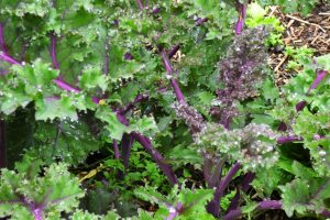 Red Russian Kale 300x200 - The Beauty of Life...