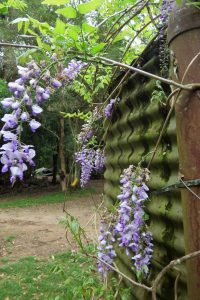 Wysteria 200x300 - The Beauty of Life...