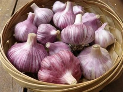 PURPLE GARLIC 416x312 - Garlic - Purple/White