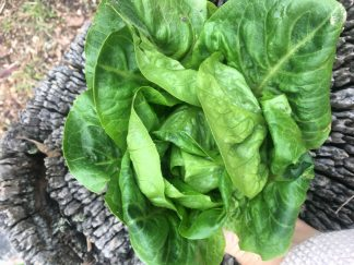 Mini Cos lettuce 324x243 - Lettuce - Mini Cos